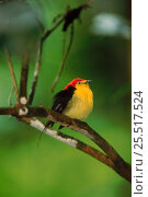 Купить «Wire tailed manakin (Teleonema filicauda). Yasuni NP, Amazon, Ecuador, South America», фото № 25517524, снято 26 марта 2019 г. (c) Nature Picture Library / Фотобанк Лори