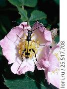 Longhorn beetle on dog rose {Cerambycidae} England, UK. Стоковое фото, фотограф PREMAPHOTOS / Nature Picture Library / Фотобанк Лори