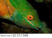 Купить «Close-up of Parrotfish head, Caribbean», фото № 25517948, снято 10 июля 2020 г. (c) Nature Picture Library / Фотобанк Лори