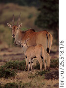 Eland mother with young, Masai Mara, Kenya East Africa. Стоковое фото, фотограф Anup Shah / Nature Picture Library / Фотобанк Лори
