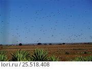 Купить «Locust (Phymateus sp) swarm over sisal. Berenty Reserve, Madagascar», фото № 25518408, снято 15 декабря 2017 г. (c) Nature Picture Library / Фотобанк Лори