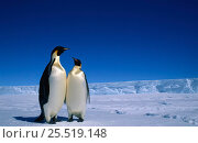Emperor Penguins (Aptenodytes forsteri) Antarctic Auster EP rookery Australian Antarctic. Стоковое фото, фотограф Pete Oxford / Nature Picture Library / Фотобанк Лори