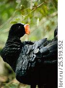 Купить «Razor Billed Curassow (Mitu tuberosum) Amazonia, Brazil. South America», фото № 25519552, снято 22 мая 2019 г. (c) Nature Picture Library / Фотобанк Лори