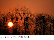 Купить «Rookery at sunset. Poland.», фото № 25519604, снято 18 февраля 2020 г. (c) Nature Picture Library / Фотобанк Лори