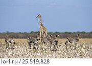 Hartmann's mountain zebra {Equus zebra hartmannae} with giraffe in background, Etosha NP, Namibia. Стоковое фото, фотограф Tony Heald / Nature Picture Library / Фотобанк Лори