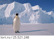 Emperor penguin, Auster rookery, Australian Antarctic Territory. Стоковое фото, фотограф Pete Oxford / Nature Picture Library / Фотобанк Лори