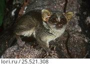 Demidoff's bushbaby (Galago / Galagoides demidoff) Epulu Ituri Rainforest Reserve, Dem Rep of Congo. Стоковое фото, фотограф Jabruson / Nature Picture Library / Фотобанк Лори