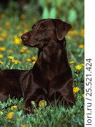 Domestic dog - chocolate labrador retriever, USA. Стоковое фото, фотограф John Cancalosi / Nature Picture Library / Фотобанк Лори