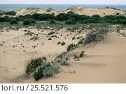 Sand dunes at Cota Donana NP, Spain. Стоковое фото, фотограф Dietmar Nill / Nature Picture Library / Фотобанк Лори
