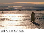 Emperor penguin walking over ice at sunset, Australian Antarctic Territory, Auster rookery. Стоковое фото, фотограф Pete Oxford / Nature Picture Library / Фотобанк Лори