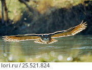 Eagle owl flying low over water (Bubo bubo) Germany. Стоковое фото, фотограф Dietmar Nill / Nature Picture Library / Фотобанк Лори