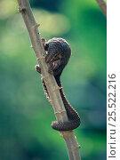 White bellied tree pangolin. (Manis tricuspis) Congo. Epulu Ituri rainforest. Стоковое фото, фотограф Jabruson / Nature Picture Library / Фотобанк Лори
