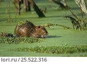 Coypu / Nutria {Myocastor coypus} in swamp, Louisiana, USA. Стоковое фото, фотограф John Cancalosi / Nature Picture Library / Фотобанк Лори