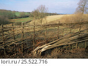 Купить «Traditional cut and laid hedge. Sussex, UK.», фото № 25522716, снято 19 августа 2018 г. (c) Nature Picture Library / Фотобанк Лори