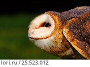 Купить «Barn owl (Tyto alba) in threatening posture. Raptor Centre, New York, USA», фото № 25523012, снято 24 сентября 2018 г. (c) Nature Picture Library / Фотобанк Лори