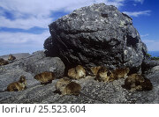 Group of Rock hyrax (Procavia capensis) sunning on rocks, Cape Point NP, South Africa. Стоковое фото, фотограф Pete Oxford / Nature Picture Library / Фотобанк Лори