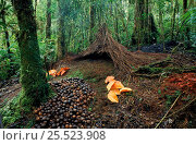 Купить «Bower of the Vogelkop gardener bowerbird (Amblyornis inornata) built by the male to attract a female, Irian Jaya / West Papua, Western New Guinea», фото № 25523908, снято 19 июля 2018 г. (c) Nature Picture Library / Фотобанк Лори