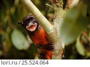 Купить «White lipped tamarin (Saguineus labiatus). Brazil, South America», фото № 25524064, снято 27 мая 2019 г. (c) Nature Picture Library / Фотобанк Лори
