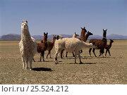 Llama herd (Llama glama) Andes NW Argentina Laguna de Los Pozuelos NP. Стоковое фото, фотограф Ross Couper-Johnston / Nature Picture Library / Фотобанк Лори