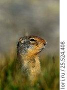 Columbian ground squirrel (Spermophilus columbianus) Glacier NP, Montana, USA. Стоковое фото, фотограф Thomas Lazar / Nature Picture Library / Фотобанк Лори