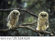 Mexican Spotted Owl (Strix occidentalis lucida) two fledglings perched, USA. Стоковое фото, фотограф John Cancalosi / Nature Picture Library / Фотобанк Лори