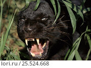 Купить «Melanistic (black form) leopard snarling, often called black panther (captive)», фото № 25524668, снято 14 декабря 2019 г. (c) Nature Picture Library / Фотобанк Лори