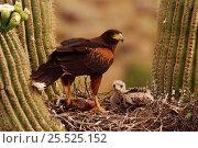 Harris' hawk (Parabuteo unicinctus) at nest in Saguaro Arizona USA... Стоковое фото, фотограф John Cancalosi / Nature Picture Library / Фотобанк Лори