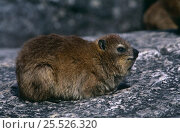 Rock hyrax {Procavia capensis} Cape Point NP, South Africa. Стоковое фото, фотограф Pete Oxford / Nature Picture Library / Фотобанк Лори