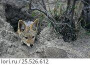 Купить «Juvenile Black backed jackal {Canis mesomelas} peering out of den, Mala Mala GR, Bushveld, South Africa», фото № 25526612, снято 15 августа 2018 г. (c) Nature Picture Library / Фотобанк Лори