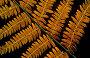 Underside of dieing bracken fronds (Pteridium aquilinum) Belgium, фото № 25526652, снято 26 июня 2017 г. (c) Nature Picture Library / Фотобанк Лори