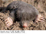 Купить «European Mole emerging from ground», фото № 25528772, снято 27 мая 2018 г. (c) Nature Picture Library / Фотобанк Лори