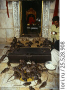 Купить «Black rats {Rattus rattus} swarm over food bowls in Hindu temple. Bikaner, Rajasthan, India», фото № 25528908, снято 23 мая 2018 г. (c) Nature Picture Library / Фотобанк Лори