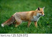 Купить «Red Fox {Vulpes vulpes} Germany», фото № 25529072, снято 27 апреля 2018 г. (c) Nature Picture Library / Фотобанк Лори