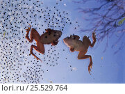 Moor frogs and frogspawn (Rana arvalis) Poland. Стоковое фото, фотограф Artur Tabor / Nature Picture Library / Фотобанк Лори