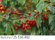 Купить «Fruit and leaves of Sweet Cherry tree (Prunus avium) Scotland», фото № 25530492, снято 17 октября 2018 г. (c) Nature Picture Library / Фотобанк Лори