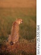 Купить «Cheetah sitting, Masai Mara NP, Kenya, East Africa», фото № 25530964, снято 26 февраля 2020 г. (c) Nature Picture Library / Фотобанк Лори