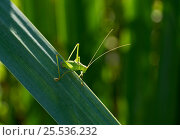 Купить «Speckled bush cricket (Leptophyes punctatissima) Sussex, UK», фото № 25536232, снято 17 августа 2018 г. (c) Nature Picture Library / Фотобанк Лори