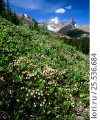 Купить «White Mountain Heather (Cassiope mertensiana) in flower growing on mountain slope in Banff National Park, Rocky Mountains, Alberta, Canada», фото № 25536684, снято 31 мая 2020 г. (c) Nature Picture Library / Фотобанк Лори