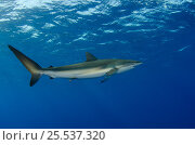 Купить «Silky shark (Carcharhinus falciformis) Jardines de la Reina National Park, Cuba, Caribbean», фото № 25537320, снято 25 марта 2019 г. (c) Nature Picture Library / Фотобанк Лори