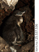 Купить «Galapagos penguin (Spheniscus mendiculus) chick  resting within a lava tube, Mariela Islet, Isabela Island, Galapagos, endemic.», фото № 25537536, снято 25 июня 2019 г. (c) Nature Picture Library / Фотобанк Лори