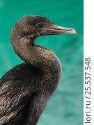 Купить «Flightless Cormorant (Phalacrocorax / Nannopterum harrisi) portrait, endemic. Isabela Island, Galapagos, September, Endangered», фото № 25537548, снято 20 марта 2019 г. (c) Nature Picture Library / Фотобанк Лори
