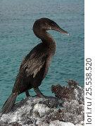 Купить «Flightless Cormorant (Phalacrocorax / Nannopterum harrisi) on rocks, endemic. Isabela Island, Galapagos, September, Endangered», фото № 25538520, снято 17 июня 2019 г. (c) Nature Picture Library / Фотобанк Лори