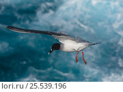 Купить «Swallow-tailed gull (Larus / Creagrus furcatus) flying over Pacific ocean, Punto Cevallos, Española (Hood) Island, Galapagos islands, Equador, South America», фото № 25539196, снято 19 октября 2019 г. (c) Nature Picture Library / Фотобанк Лори