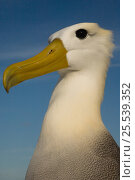 Купить «Head portrait of Waved albatross (Phoebastria irrorata) Punto Cevallos, Española (Hood) Island, Galapagos islands, Equador, South America», фото № 25539352, снято 19 октября 2019 г. (c) Nature Picture Library / Фотобанк Лори