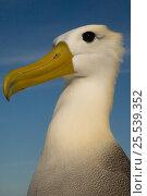 Купить «Head portrait of Waved albatross (Phoebastria irrorata) Punto Cevallos, Española (Hood) Island, Galapagos islands, Equador, South America», фото № 25539352, снято 23 марта 2019 г. (c) Nature Picture Library / Фотобанк Лори