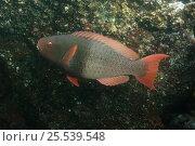 Купить «Bicolor Parrotfish (Scarus rubroviolaceus) Wolf Island in the northern archepelago, Galapagos Islands, Equador, South America», фото № 25539548, снято 10 июля 2020 г. (c) Nature Picture Library / Фотобанк Лори