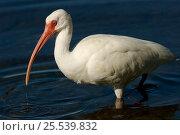 White ibis (Eudocimus albus) standing in water, Sanibel Island, Florida, USA. Стоковое фото, фотограф Tim Laman / Nature Picture Library / Фотобанк Лори