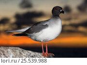 Купить «Swallow-tailed gull (Larus / Creagrus furcatus) on rock, at sunset. Punto Cevallos, Española (Hood) Island, Galapagos islands, Equador, South America», фото № 25539988, снято 23 марта 2019 г. (c) Nature Picture Library / Фотобанк Лори