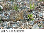 Купить «Arctic / Parry's Ground squirrel (Spermophilus parryii; Sciuridae) on upland tundra in autumn. Denali NP, Alaska, USA, North America.», фото № 25540040, снято 24 марта 2019 г. (c) Nature Picture Library / Фотобанк Лори