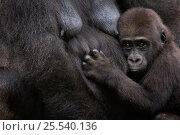 Купить «Juvenile Western lowland gorilla (Gorilla gorilla gorilla) with nursing female. Endangered species. Captive; Apenheul zoo; the Netherlands.», фото № 25540136, снято 27 мая 2019 г. (c) Nature Picture Library / Фотобанк Лори